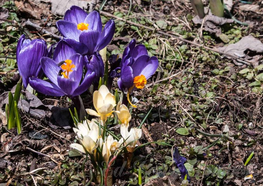 Spring Nature Flowers Purple and Yellow Crocus