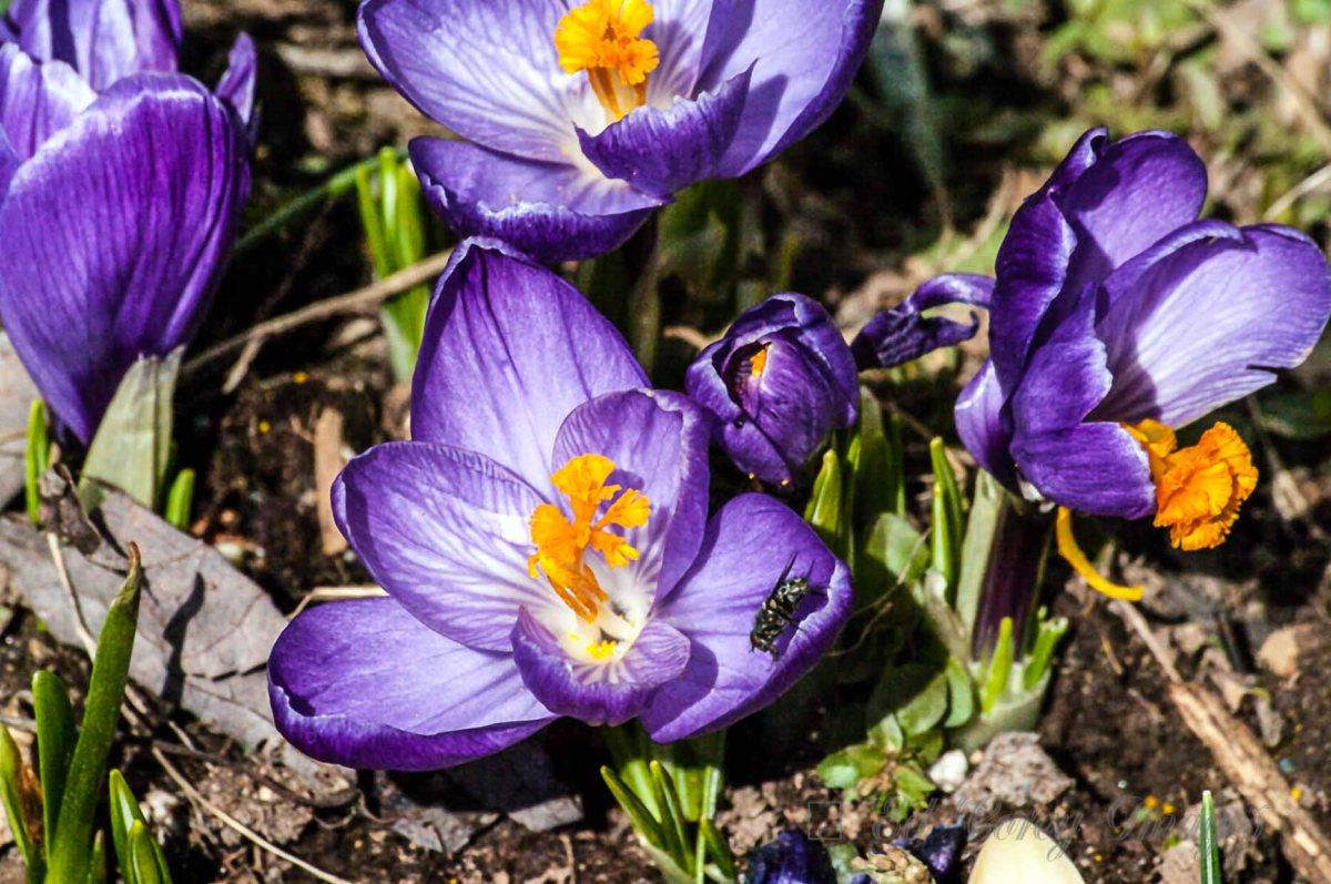 Spring Nature Flowers Spring Purple Crocus
