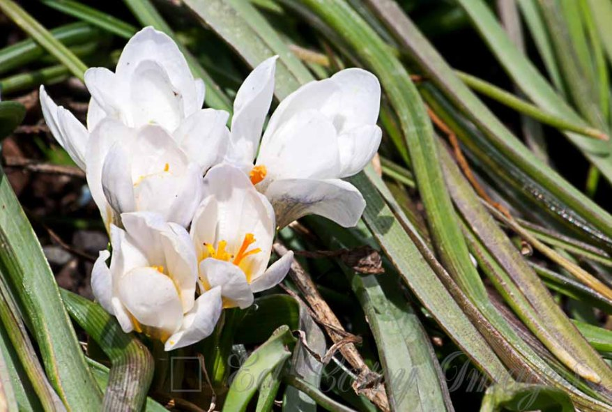 Spring Nature Flowers White Crocus