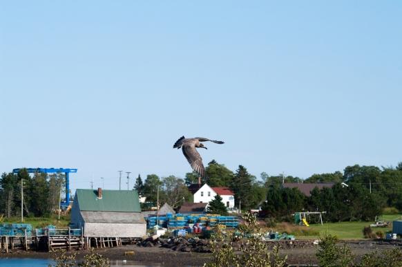 Juvenile Herring Gull