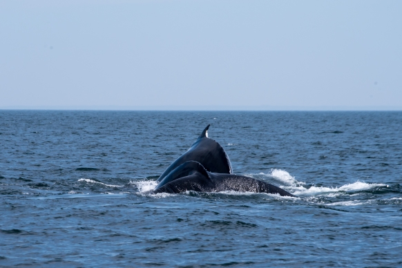 Two Humpback whales both diving in the Bay of Fundy