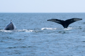 Two whales playing one with fluke up in the Bay of Fundy