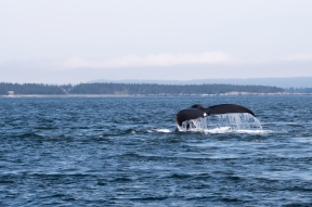 Humpback Whale Diving in the Bay of Fundy