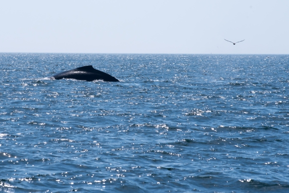 A Humpback Whale diving with bird in the Bay of Fundy